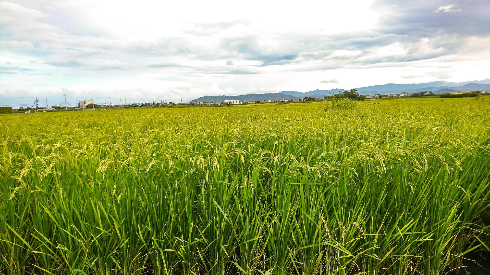 木村式自然栽培にて育てたお米です