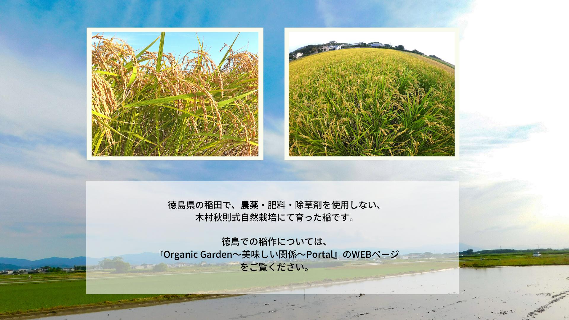 徳島県で木村秋則式自然栽培にて栽培した稲