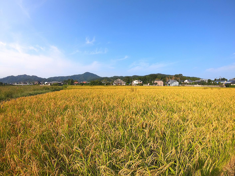 木村式自然栽培にて育てた農薬・肥料・除草剤不使用のお米です