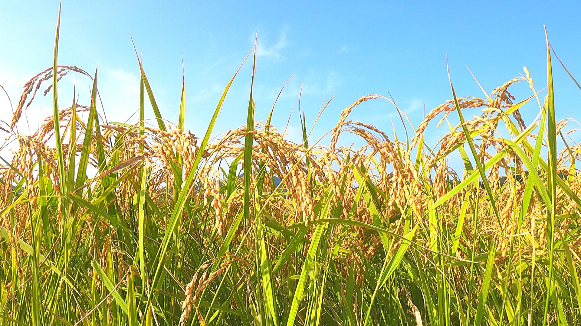 木村秋則式自然栽培の稲