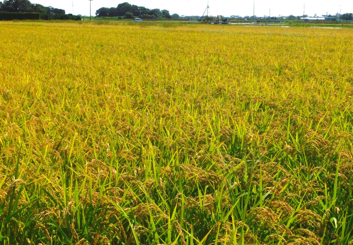 徳島県にて木村秋則式自然栽培で栽培した稲